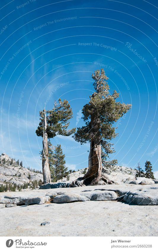 Knorrig Umwelt Natur Landschaft Pflanze Tier Urelemente Klima Klimawandel Wetter Baum Felsen Berge u. Gebirge Schlucht Yosemite NP Kalifornien USA Granit