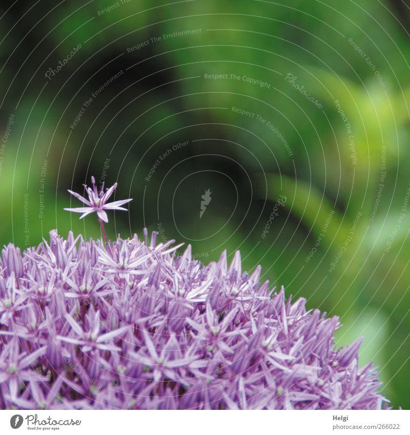 Superstar... Natur grün schön Pflanze Blume Einsamkeit Umwelt Frühling Garten Blüte Kraft natürlich außergewöhnlich ästhetisch Wachstum stehen