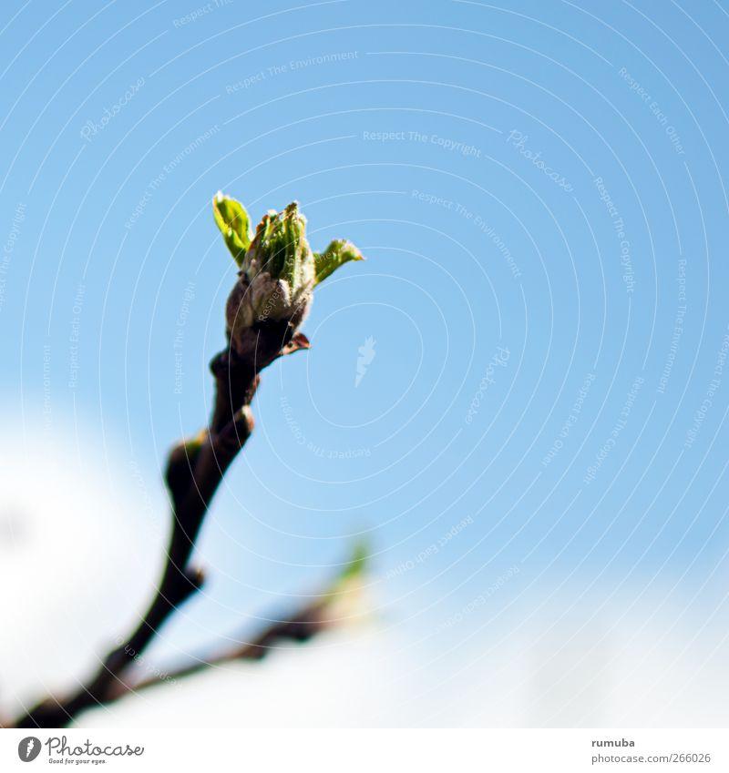 Les bourgeons éclatent Himmel Natur blau Pflanze grün Frühling Blüte Garten Wachstum frisch Kraft Erfolg Ast Schönes Wetter Neugier Hoffnung
