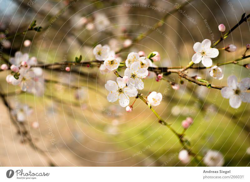 Heile Welt Umwelt Natur Landschaft Pflanze Frühling Schönes Wetter Baum Blüte Park Blühend Duft Freundlichkeit frisch natürlich schön Wärme rosa weiß