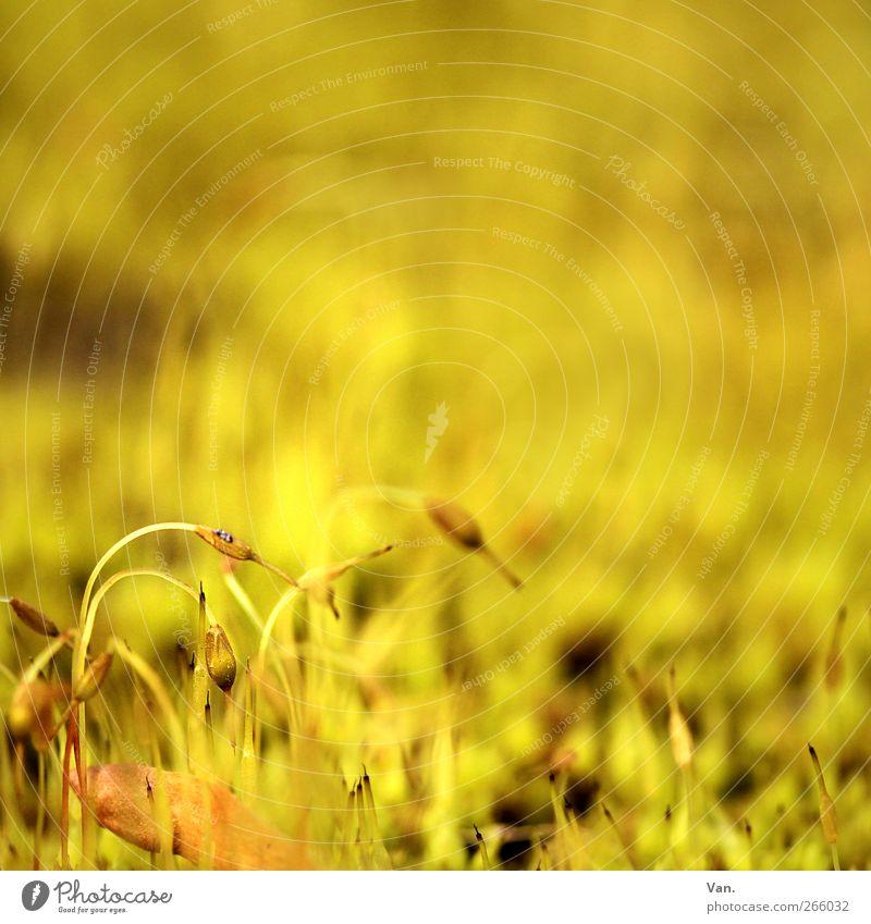 es gelbt so gelb Natur Pflanze Frühling Moos Stengel Blattknospe Garten Wiese Wachstum schön Wärme gold klein sprießen Farbfoto mehrfarbig Außenaufnahme