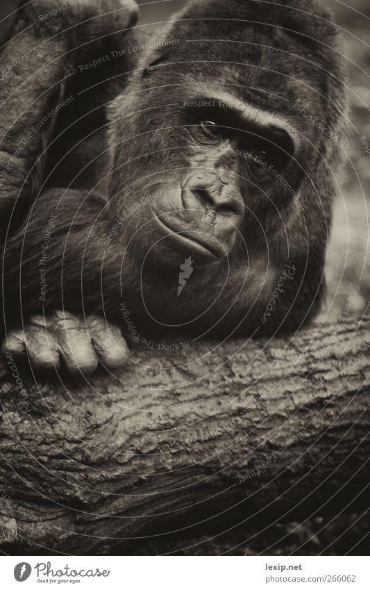 Gorilla Portrait Natur Sommer Baum Freude Tier Umwelt Gefühle Stil Glück Holz maskulin Wildtier Fröhlichkeit Abenteuer Fell Tiergesicht