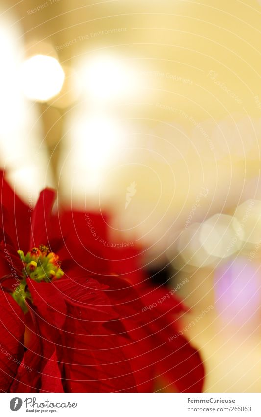 Euphorbia pulcherrima. Natur rot Pflanze Blüte Blühend Anschnitt Lichtpunkt Weihnachtsstern ziegelrot