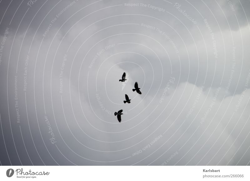 die Räuber. Himmel Wolken Tier Wildtier Vogel Krähe Rabenvögel 4 Tiergruppe fliegen Bewegung Vogelflug Wolkenhimmel Flügel Farbfoto Außenaufnahme Menschenleer