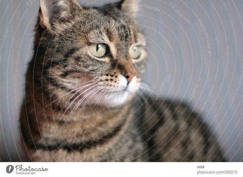 ^-^ Tier Haustier Katze 1 beobachten niedlich braun Fell Schnurrhaar Auge Katzenauge Katzenkopf Menschenleer Farbfoto Innenaufnahme Textfreiraum rechts