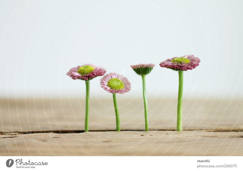 die vier Wilden Natur schön Pflanze Blume Holz Blüte Hintergrundbild außergewöhnlich Tisch 4 Blühend Gänseblümchen durchwachsen
