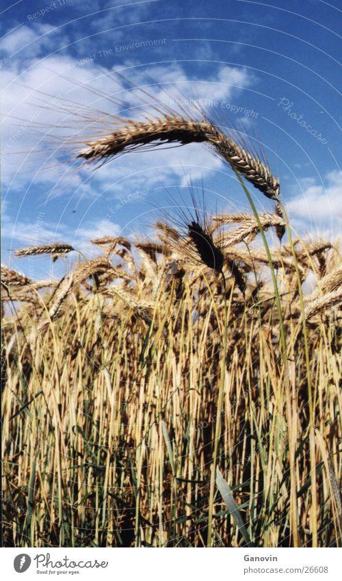 ein Weizenhalm will hoch hinaus Natur Sommer gelb Gras Perspektive Weizen