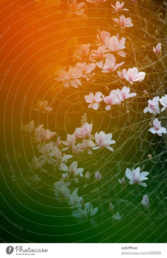 600 orangene Magnolienblättchen Natur grün Pflanze Umwelt Frühling Blüte Ast Blühend Magnoliengewächse Magnolienbaum orange-rot Magnolienblüte