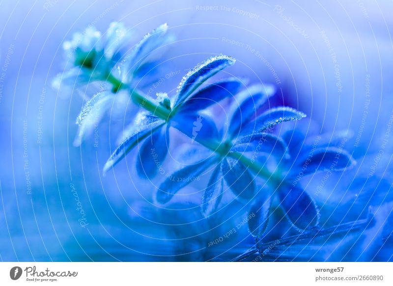 Überraschung | Eiskalt erwischt Pflanze Herbst Winter Frost Wiese nah blau grün Raureif Eiskristall Nahaufnahme Makroaufnahme Querformat blau-grün Grünpflanze