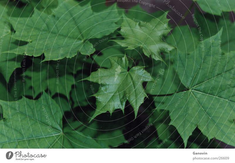 Blätterwald Blatt grün mehrfarbig Natur Leben natürlich