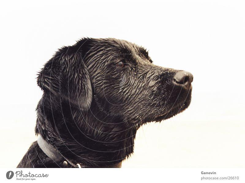 Lia schwarz Tier Hund Haustier Labrador