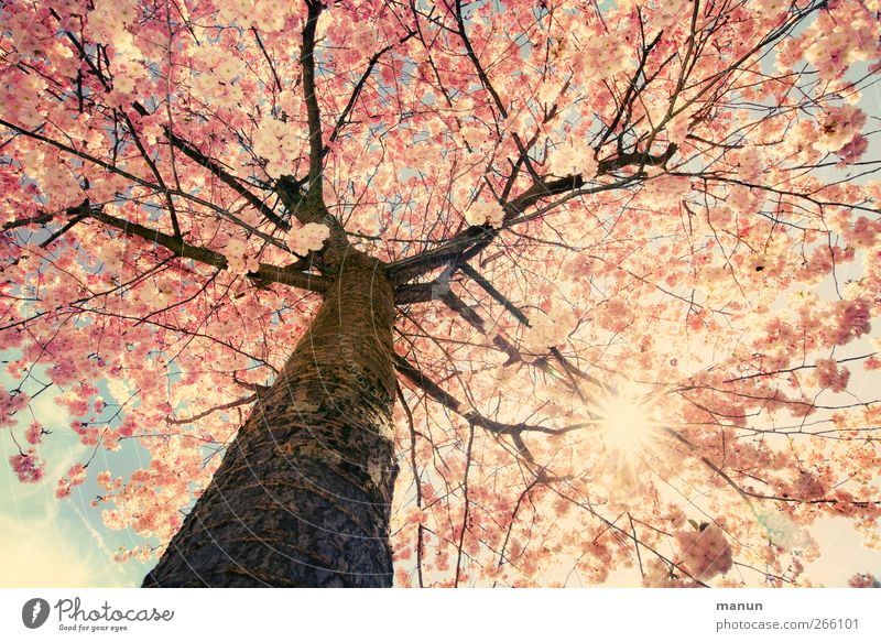 schönes Wetter heute Natur Sonne Frühling Baum Blüte Zweige u. Äste Kirschblüten Blühend leuchten authentisch hell natürlich rosa Frühlingsgefühle Farbfoto