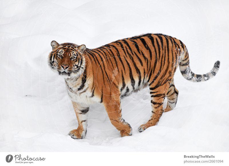 Sibirischer Tiger im weißen Winterschnee stehend Natur Tier Wetter Schnee Wildtier Katze Tiergesicht Zoo 1 beobachten frisch wild Tigerin jung Tierwelt