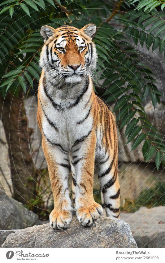 Nahaufnahme Vorderansicht des sibirischen Amur-Tigers Natur Tier Baum Felsen Wildtier Katze Tiergesicht Zoo 1 Stein beobachten stehen niedlich wild Wachsamkeit