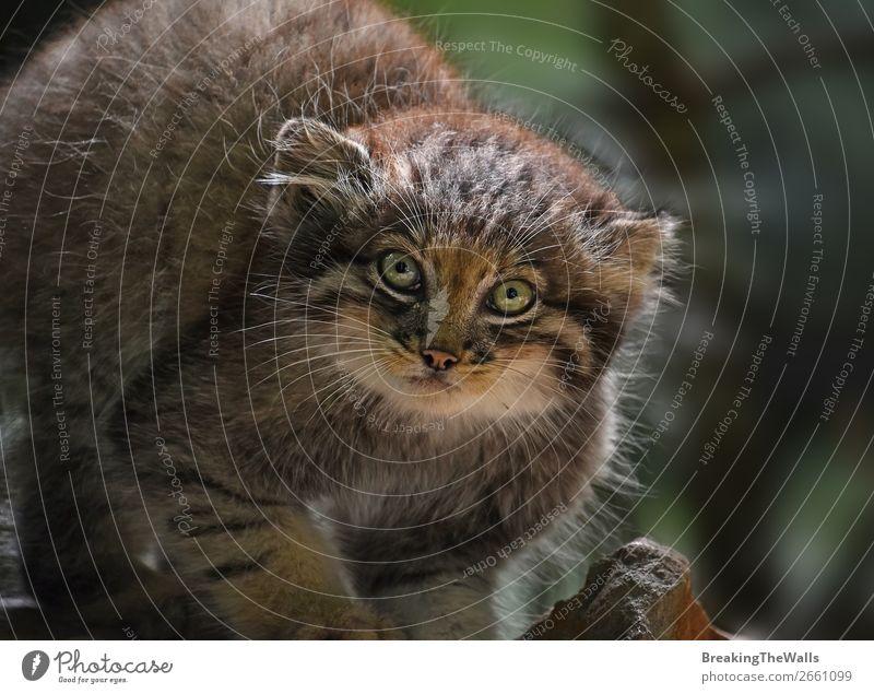 Nahaufnahme des Manul-Kätzchens Natur Tier Wald Felsen Wildtier Katze Tiergesicht Zoo 1 Tierjunges dunkel klein niedlich wild Katzenbaby Schnauze starren