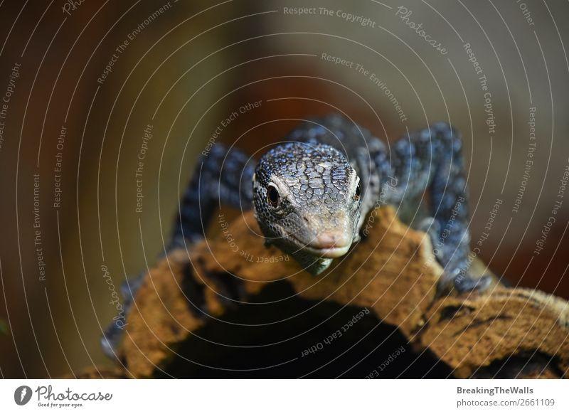 Nahaufnahme des blau getupften Baummonitors Erholung Natur Tier Felsen Wildtier Tiergesicht Zoo 1 Stein gepunktet Kofferraum Varanus Makraei ruhen Leguanidae