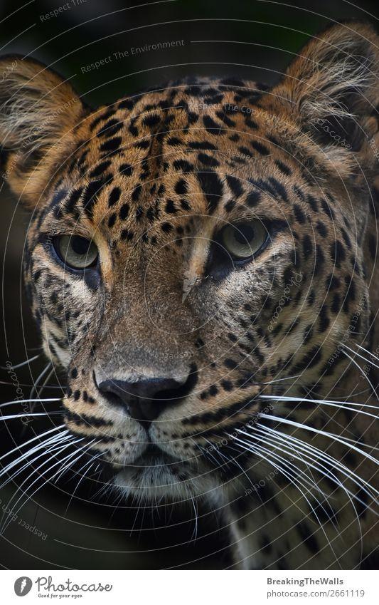 Nahaufnahme Portrait des Persischen Leoparden Natur Tier Wildtier Katze Tiergesicht Zoo 1 dunkel wild Schnauze starren Tierwelt Säugetier Raubtier