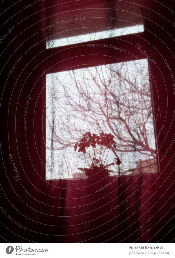 ~ calynopsis purpur ~ Pflanze Blume Topfpflanze dunkel rot schwarz Menschenleer Abend Dämmerung Unschärfe Fensterblick Gardine Fensterbrett Textfreiraum unten