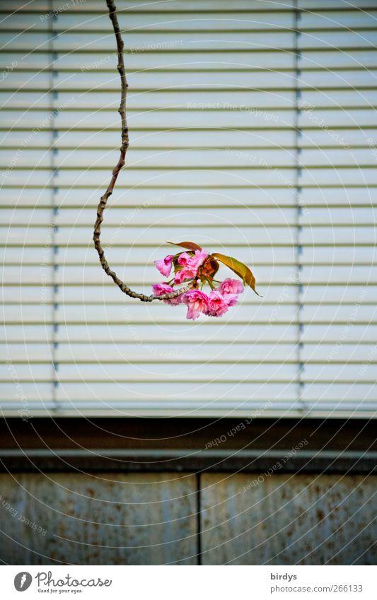 Früh krümmt sich.... Stadt Pflanze Blatt Einsamkeit Fenster Frühling Blüte lustig rosa außergewöhnlich einzigartig Ast einzeln lang Blühend Duft