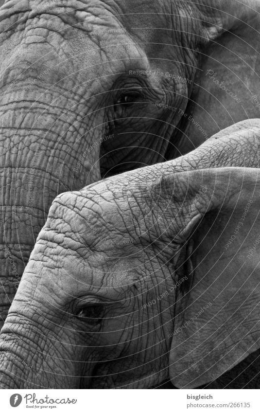 Dickhäuter III Tier ruhig grau Wildtier groß stehen Gelassenheit Elefant gigantisch Elefantenhaut Elefantenohren Elefantenauge