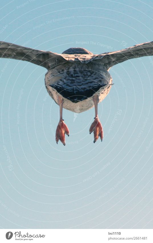 luftig   Möwe, Hinterteil Wildtier Vogel Flügel 1 Tier blau braun grau rosa schwarz weiß fliegen Rückansicht Feder Tierfuß himmelblau Herbst Juist Abschied
