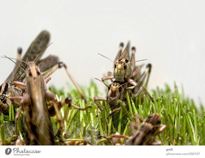 grasshoppers Natur Tier Lebensmittel Gras braun Insekt Fressen Textfreiraum Heuschrecke Fortpflanzung Schädlinge vergrößert Plage Kontinuität verschlingen