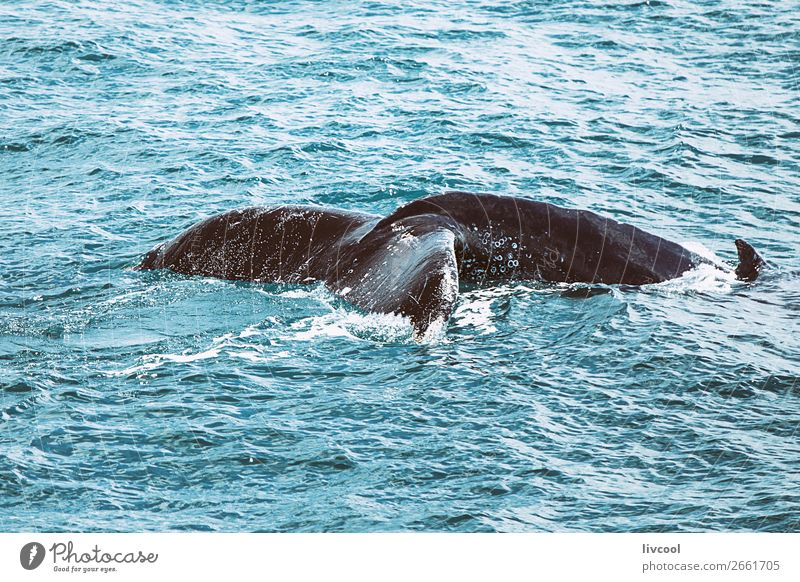 Buckelwal an der australischen Küste Leben Ferien & Urlaub & Reisen Ausflug Meer Natur Tier Wasserfahrzeug Wildtier 1 blau Wal Australien Tierwelt fantastisch