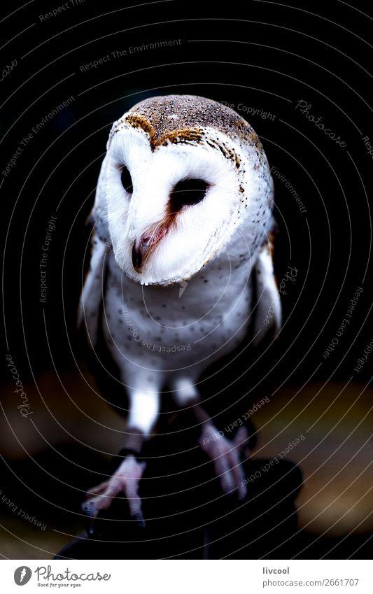 Eule, Brisbane-australien Ferien & Urlaub & Reisen Ausflug Abenteuer Ausstellung Natur Tier Wildtier Vogel 1 Freundlichkeit niedlich weiß Waldohreule weiße Eule