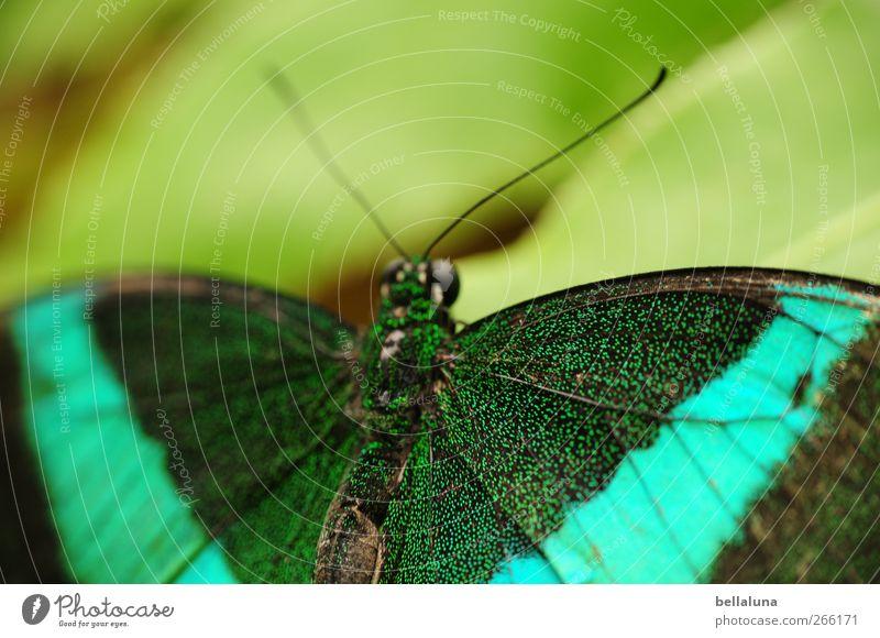 Grüngestreifter Schwalbenschwanz (Papilio palinurus) Natur grün schön Baum Blatt Tier schwarz Wildtier elegant natürlich außergewöhnlich ästhetisch Flügel Tiergesicht fantastisch Schmetterling