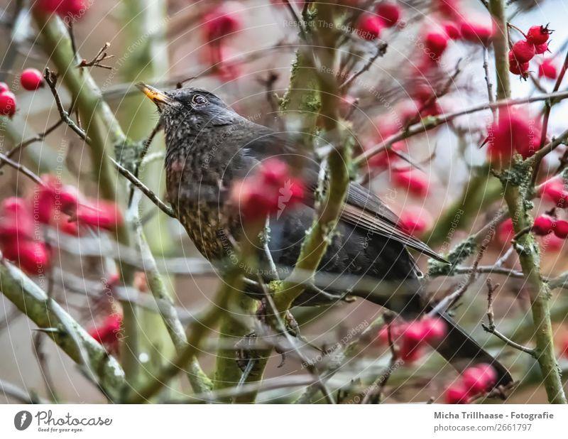 Amsel im Beerenstrauch Natur blau grün rot Tier schwarz Umwelt Vogel leuchten Wildtier sitzen Feder Sträucher Schönes Wetter Flügel beobachten