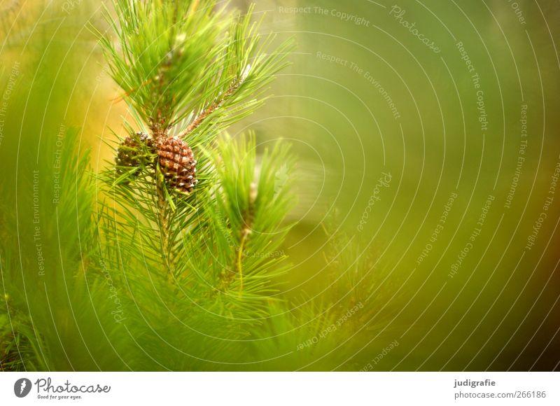 Wald Umwelt Natur Landschaft Pflanze Wildpflanze Wachstum natürlich grün Kiefer Zapfen Farbfoto Außenaufnahme Textfreiraum rechts Unschärfe