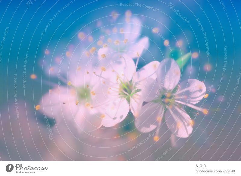Blütentraum Natur blau schön Pflanze Farbe ruhig Liebe Gefühle Frühling Glück Garten natürlich Park rosa Fröhlichkeit