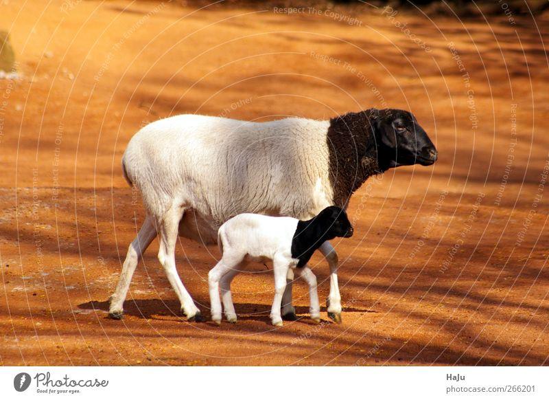 Schafsfamilie Natur Tier 2 Tierjunges Tierfamilie Bewegung Blick stehen Zusammensein natürlich niedlich feminin schwarz weiß Sicherheit Schutz Geborgenheit