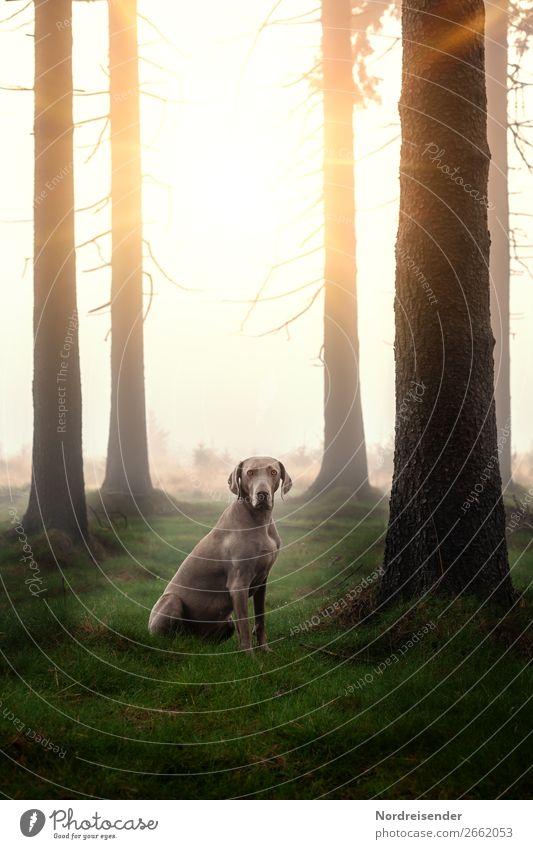 Weimaraner Jagdhund auf einer Waldwiese rasse outdoor natur landschaft tierportrait abruf baum sonnenschein freiheit ländlich edel freund loyalität spaß freude