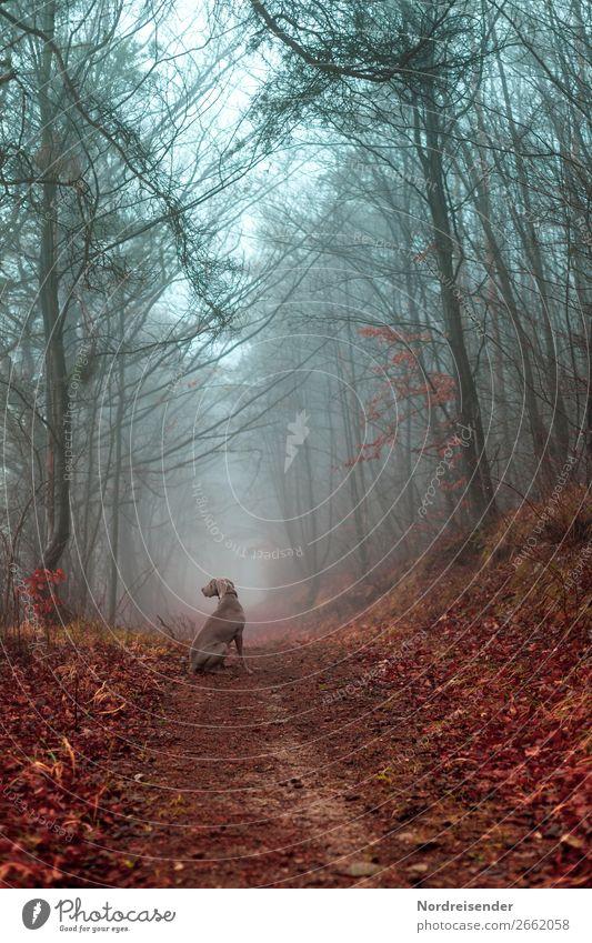 Herbstwald im Nebel Natur Hund Landschaft Baum Tier Wald Wege & Pfade Freiheit Stimmung Ausflug Regen Idylle warten Fußweg