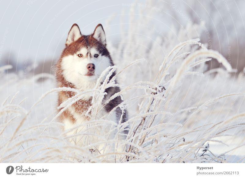 roter Hund sibirischer Husky stehend Glück schön Winter Schnee Sport Erwachsene Natur Tier Haustier niedlich weiß jung kalt Eis nördlich heimisch Säugetier