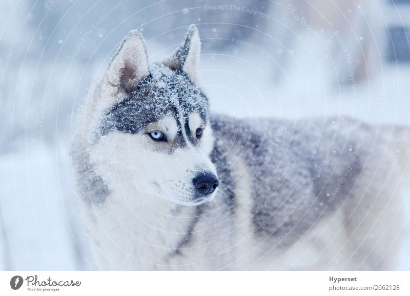 Schneeflocken auf dem Kopf sibirischer Husky Winter Schneefall Hund grau weiß zweiäugig kalt blaues Auge Frost Schnee auf der Nase Körperhaltung Außenbereich