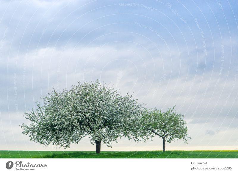 Apfelbaum mit Blüten Sommer Natur Himmel Feld Menschenleer springen Zufriedenheit Lebensfreude Frühlingsgefühle Sicherheit Deutschland Hessen landwirtschaft