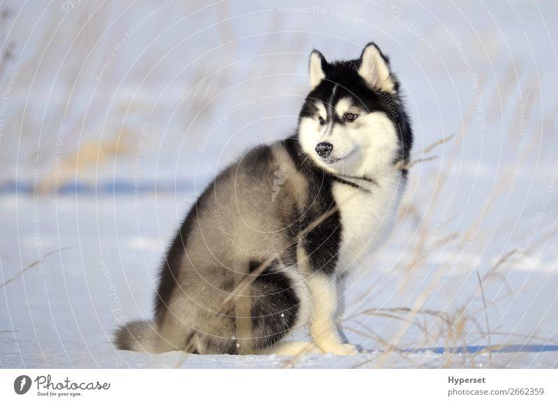 Sibirischer Husky schwarz-weißer flauschiger Wollwelpe Winter Schnee Hund sitzen grau kalt Frost sibirischer Husky Schnee auf der Nase Körperhaltung Reinrassig