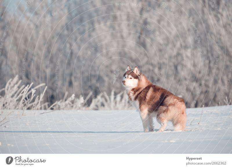 Roter sibirischer Huskyhund im Frost stehend Winter Schnee Landschaft Baum Gras Wald Tier Haustier Hund 1 rot weiß Feld Körperhaltung Reif Außenaufnahme