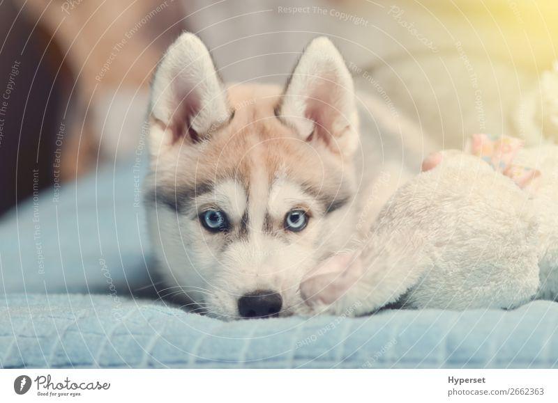 Sibirischer Husky-Welpe mit blauen Augen, reinrassig auf dem Bett liegend. Tier Pelzmantel Haustier Hund Spielzeug klein lustig niedlich grau schwarz weiß jung