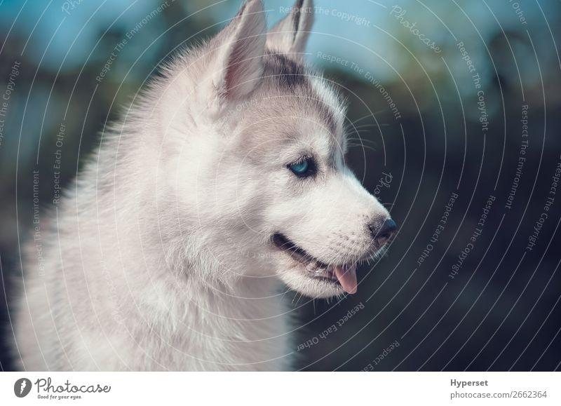 Blaue Augen Welpenseitenportrait. Sommer Mund Pelzmantel Haustier Hund klein niedlich blau grau grün schwarz Husky sibirisch blaue Augen Seite Hintergrund