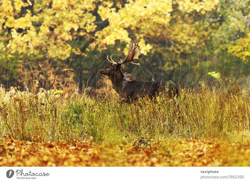 schöner Damhirsch im Herbstwald Spielen Jagd Mann Erwachsene Umwelt Natur Landschaft Tier Baum Gras Park Wald groß natürlich wild braun grün Farbe Brachland