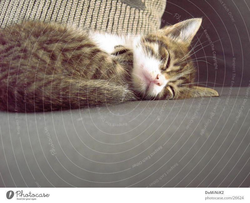 Schlafendes Kätzchen Katze Tier schlafen ruhig Gelassenheit fetzig wach träumen Sofa Schlafplatz Bett süß Fell Einsamkeit Polster schmeichelnd Schnurren