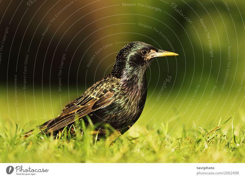 Großer gemeinsamer Star schön Garten Mann Erwachsene Natur Tier Gras Park Wiese Vogel natürlich wild grau schwarz Farbe allgemein Sturnus vulgaris gefleckt