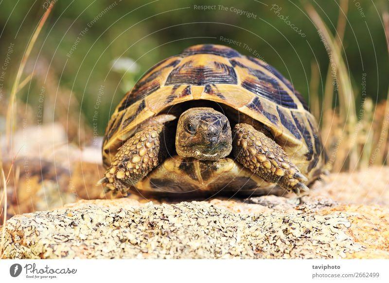 griechische Schildkröte, durchgehendes Tier in natürlicher Umgebung schön Umwelt Natur alt groß Geschwindigkeit wild braun grün Schutz Reptilien Landschildkröte
