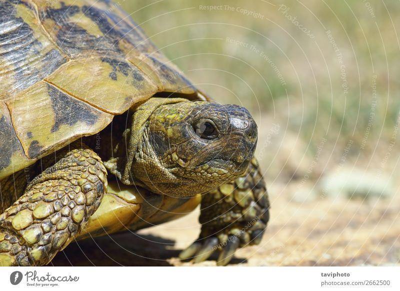 Natur alt Tier natürlich wild Fotografie Lebewesen Reptil langsam Griechen Zoologie Pflanzenfresser Landschildkröte Griechische Landschildkröte