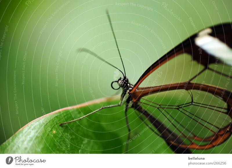 Wie aus Glas Natur weiß grün schön Pflanze Blatt Tier schwarz braun Wildtier elegant natürlich außergewöhnlich ästhetisch Flügel Tiergesicht