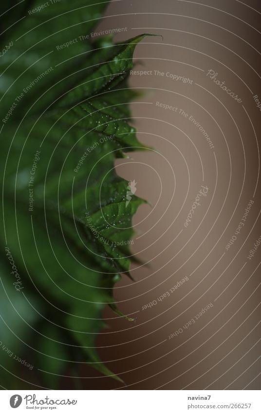 Blattrand Efeu Grünpflanze Spitze grün Zacken Natur Blattadern Gedeckte Farben Innenaufnahme Detailaufnahme Makroaufnahme Textfreiraum rechts Kunstlicht