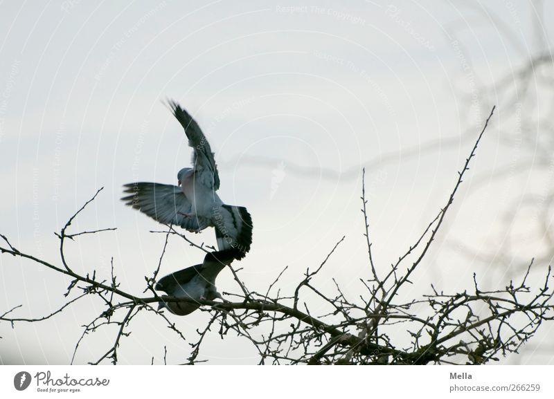 Frühlingsgefühle Natur Baum Tier Umwelt Vogel Tierpaar fliegen natürlich Ast Taube dominant Fortpflanzung Brunft vertreiben